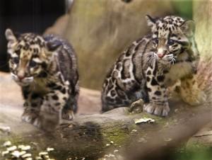 學者證實台灣雲豹已滅絕