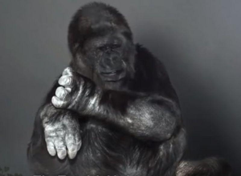 大猩猩呼籲人類趕快保護地球