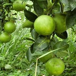 蜜柚果樹認養